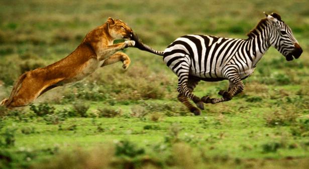 predador pega o mais fraco